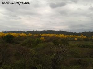 Pequeño bosque de guayacanes en Flor. Saucillo - Zapotillo supervivientes a la industria maderera.