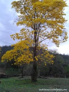 Guayacán en flor