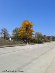 Solitario Guayacán en flor en la vía Zapotillo - Pindal