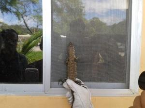 lagarto iguana pequeña