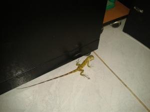 Peuqueña iguana en la oficina