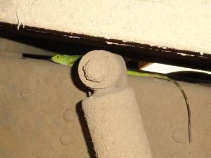 Joven Iguana, (pacaso) recostada