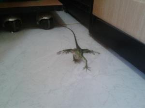 Iguana mirando a la cámara
