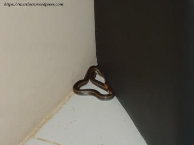 culebra serpiente tras escritorio