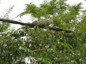 iguana sobre el cableado