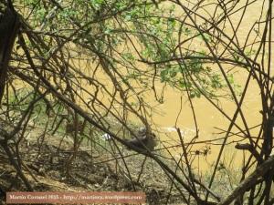 Nutrias en la orilla del río Alamor.