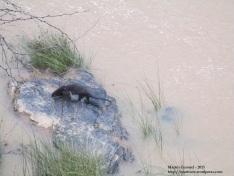 Ejemplar de nutria en el río Alamor